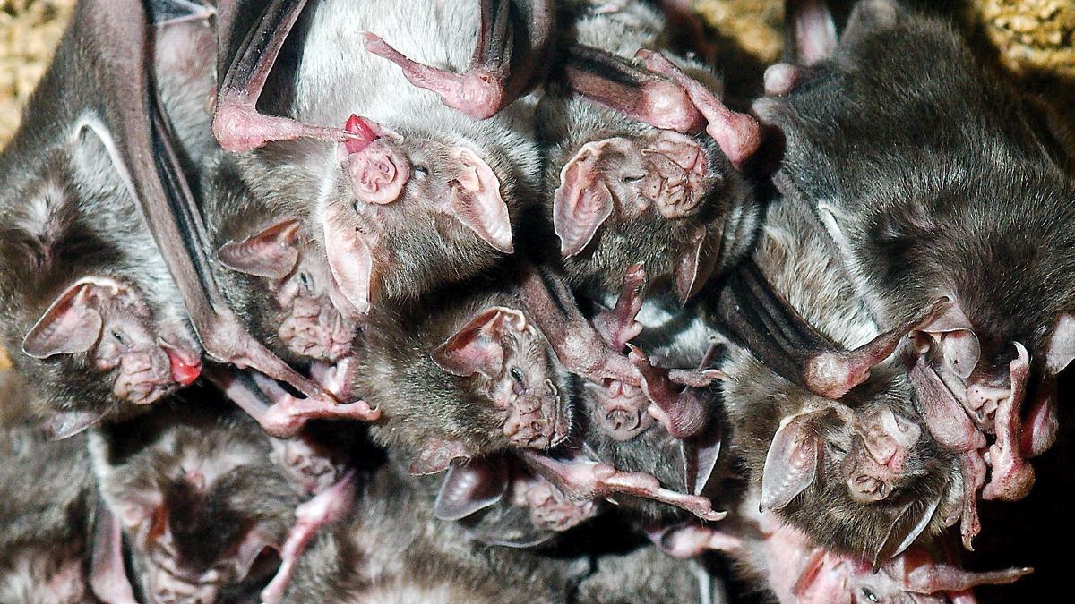 Биологи проследили развитие дружбы между рукокрылыми вампирами
