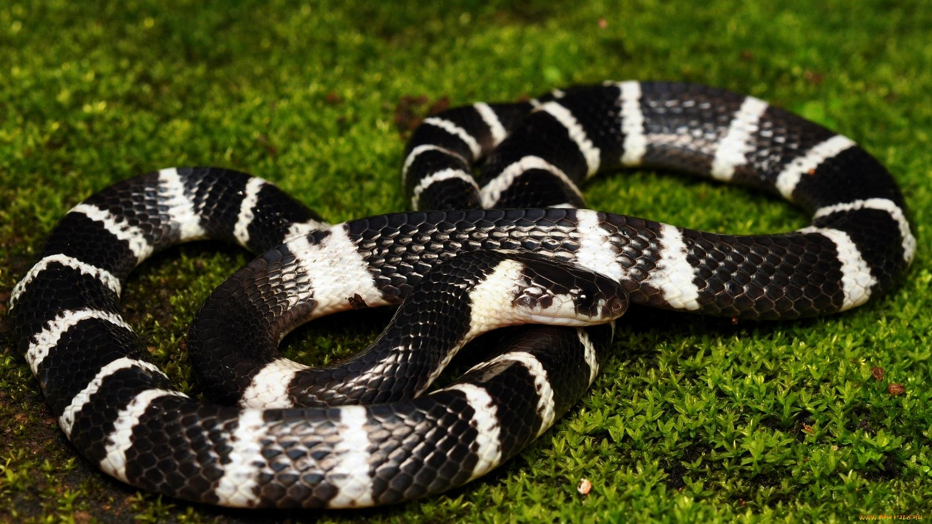 Змеи стали ядовитыми не для самообороны