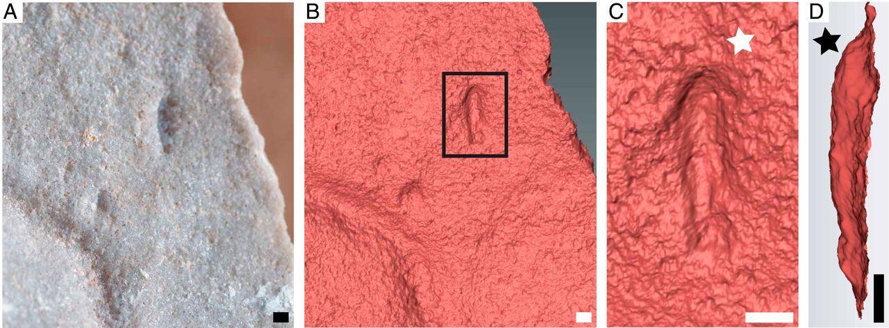 Обнаружены ископаемые останки вероятного первого предка большинства многоклеточных животных