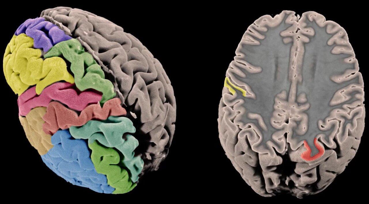 Ученые составили генетическую карту коры головного мозга