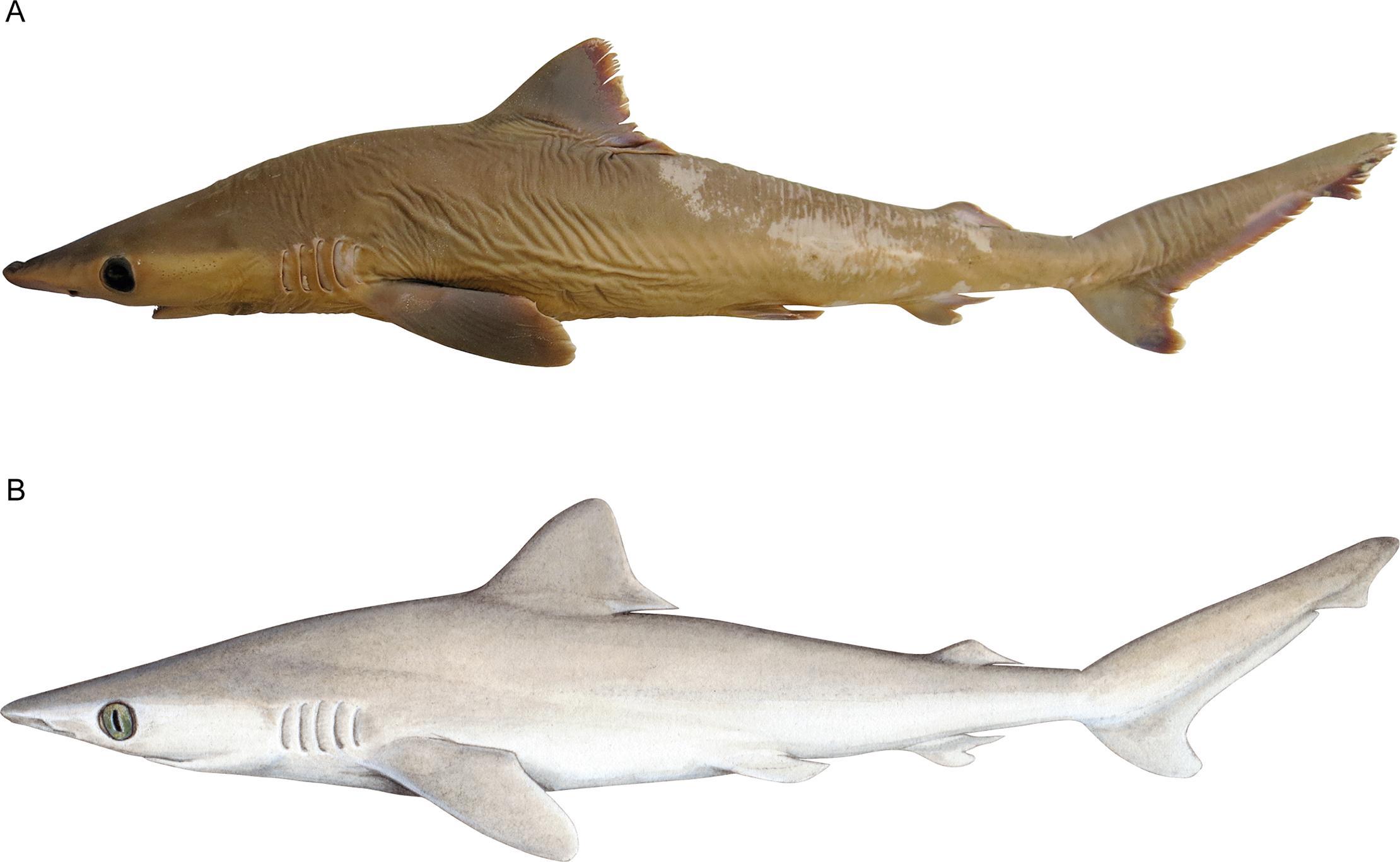 Ученые нашли в музеях новый вид акул. И он уже вымер