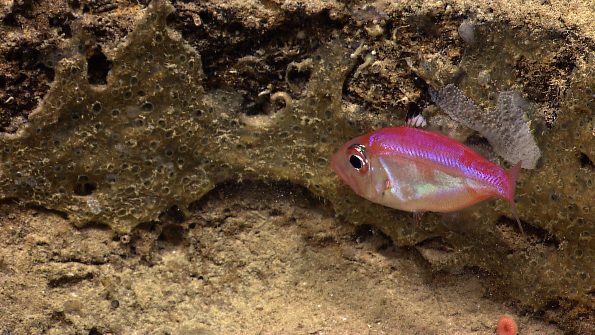 Глубоководные рыбы вида Parazen pacificus вынашивают потомство во рту