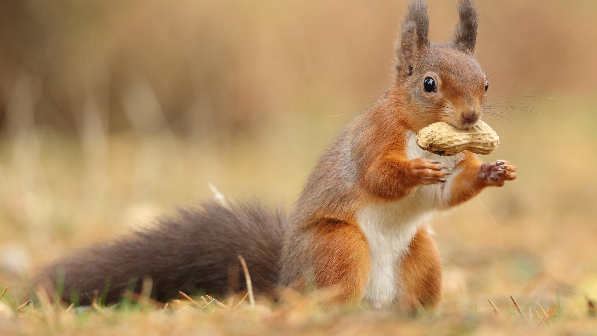 Ученые нашли в кишечнике спусковой механизм аллергии на арахис