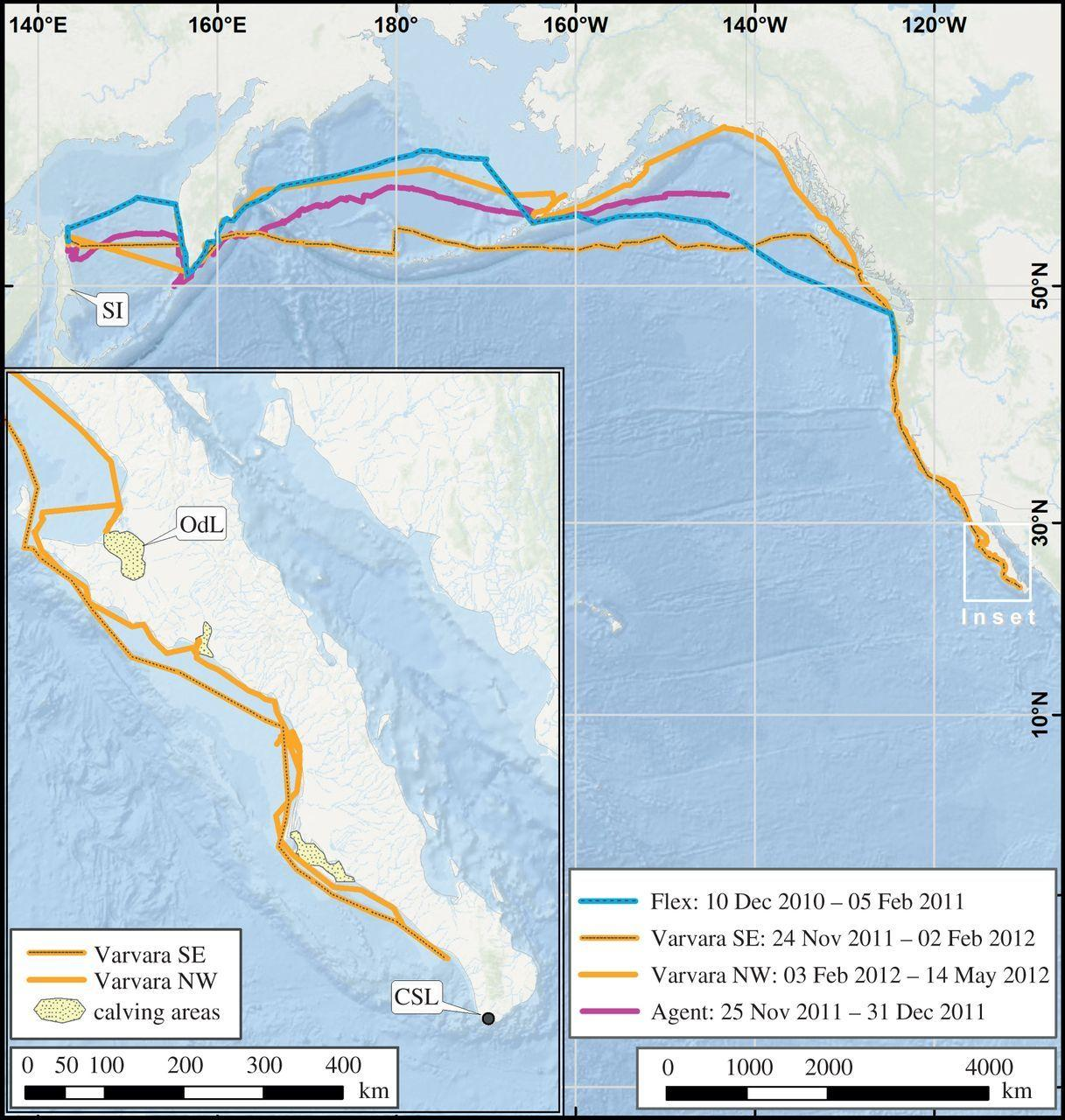 Серый кит поставил рекорд по дальности миграции