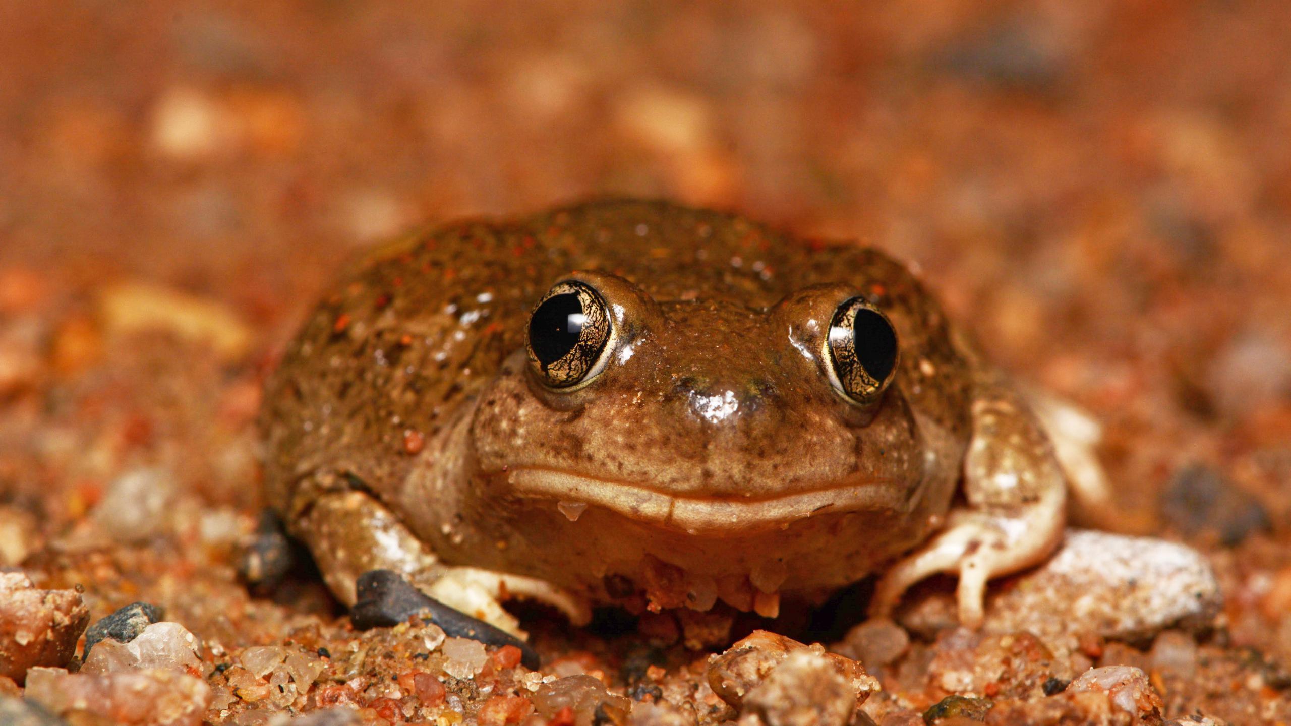 Самки жаб разбираются в самцах другого вида