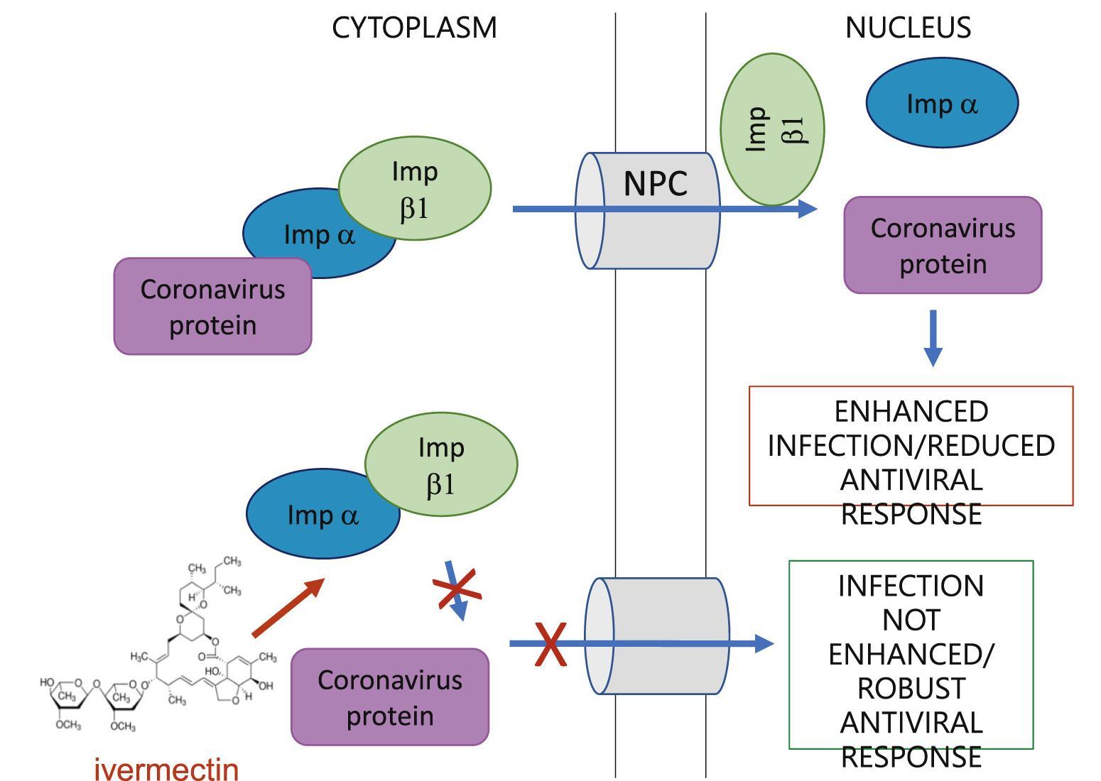 Противопаразитарное средство оказалось эффективным in vitro против Covid-19