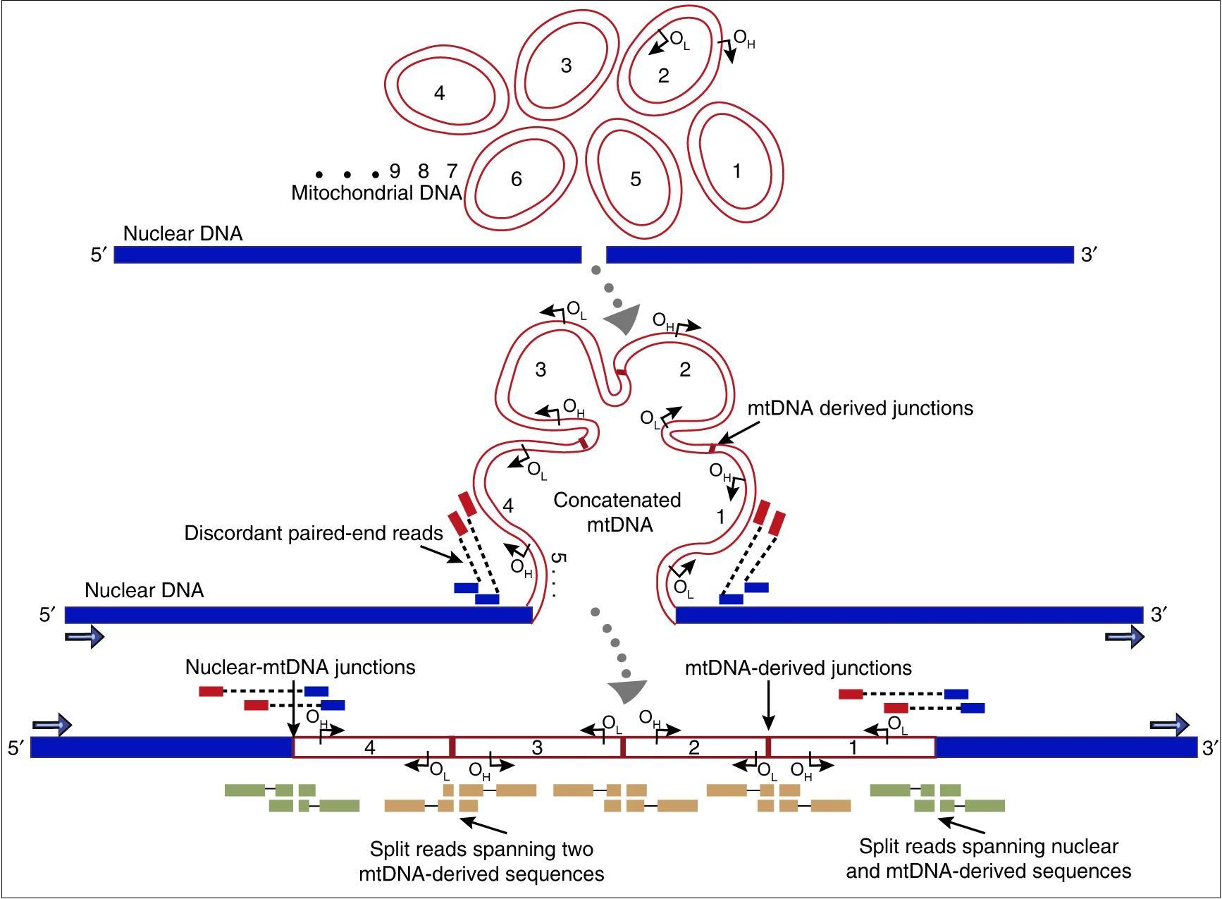 Унаследованные от отца митохондрии оказались гигантской вставкой в ядерный геном