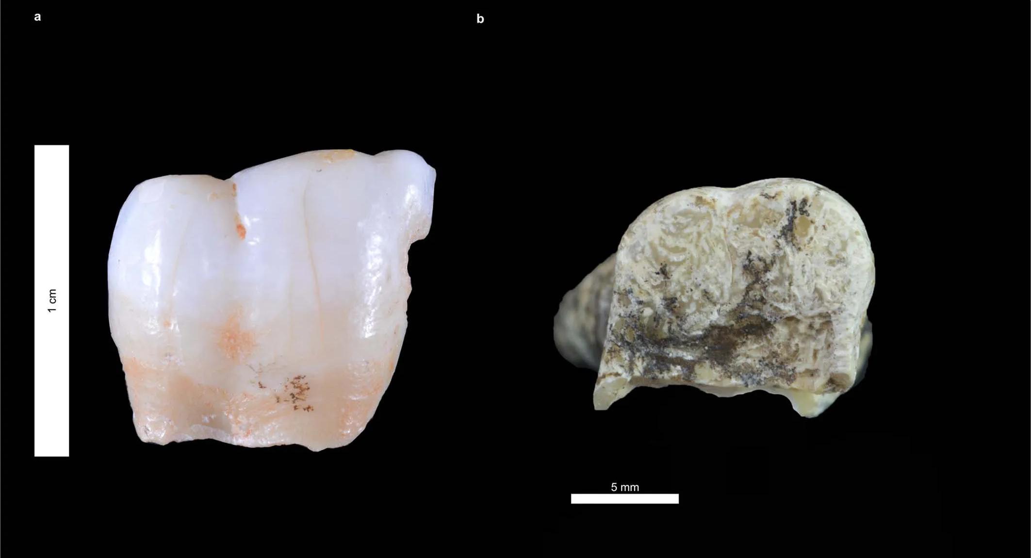 Древние белки указали на дедушку неандертальцев и сапиенсов