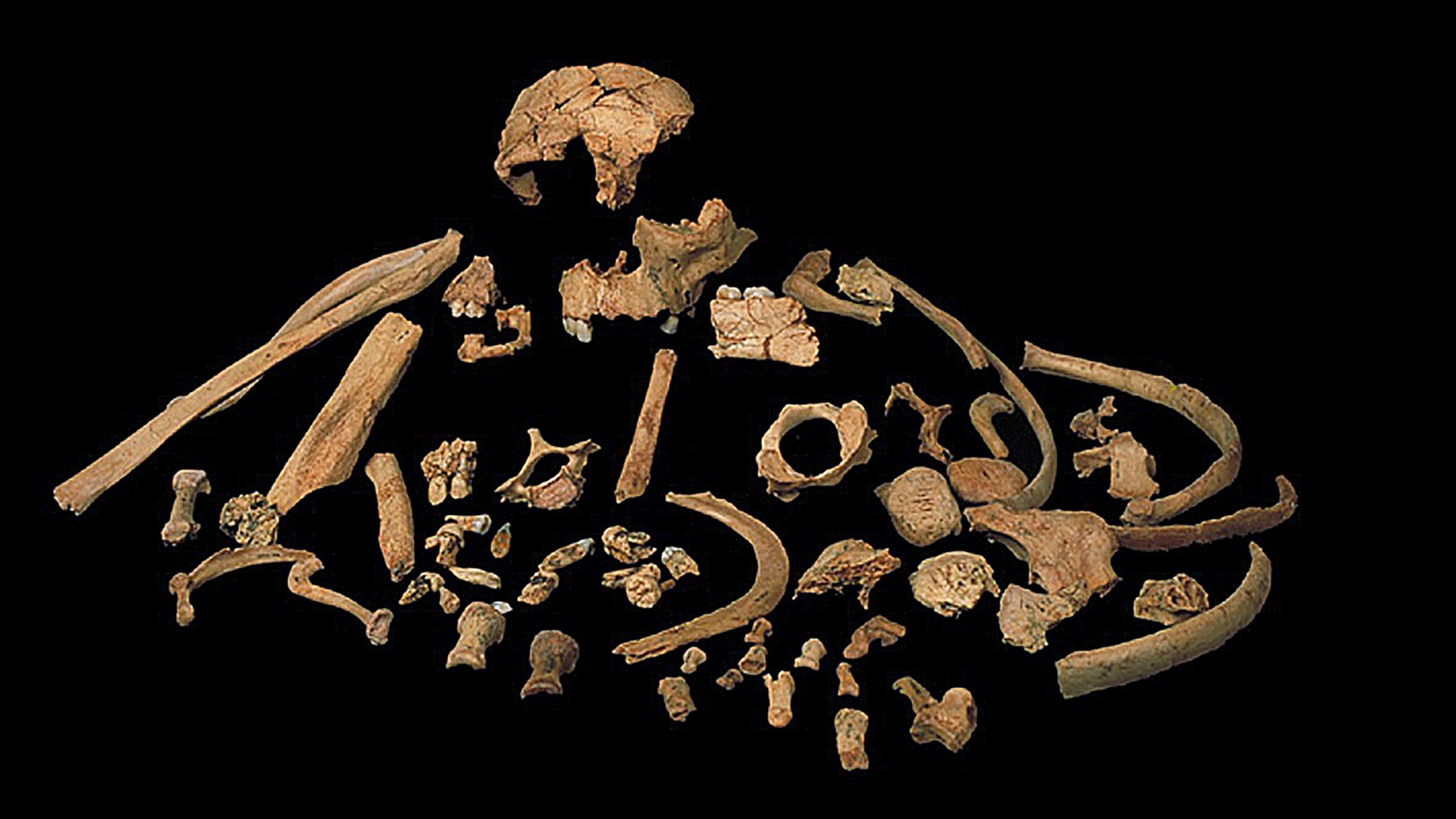 Антропологи изучили кандидатов на роль последнего общего предка сапиенсов и неандертальцев