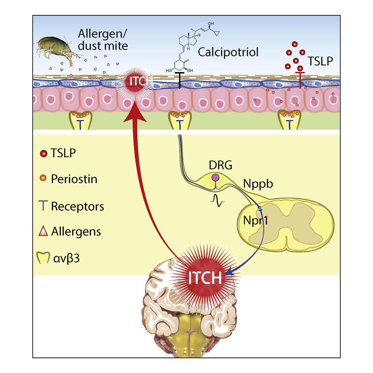 Обнаружен молекулярный «выключатель» аллергического зуда