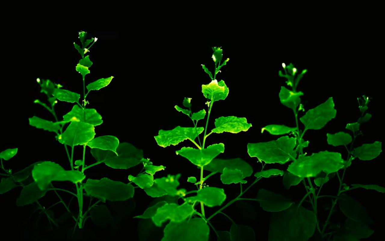 Ученые получили первые полноценно светящиеся растения