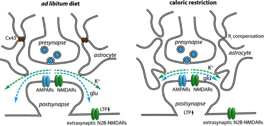 Как астроциты улучшают работу гиппокампа при ограничении калорий