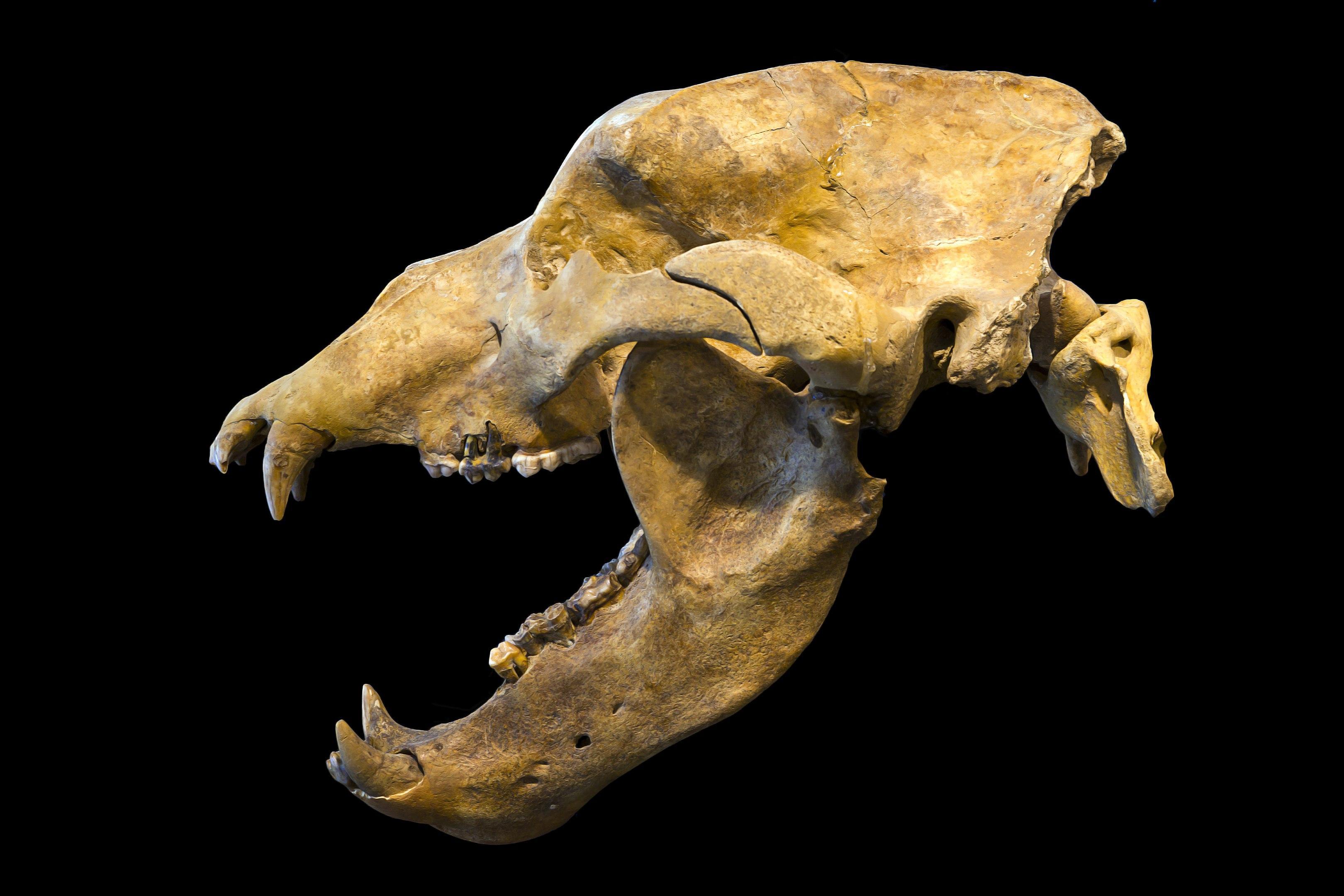 Причиной вымирания пещерных медведей стал их слишком большой нос