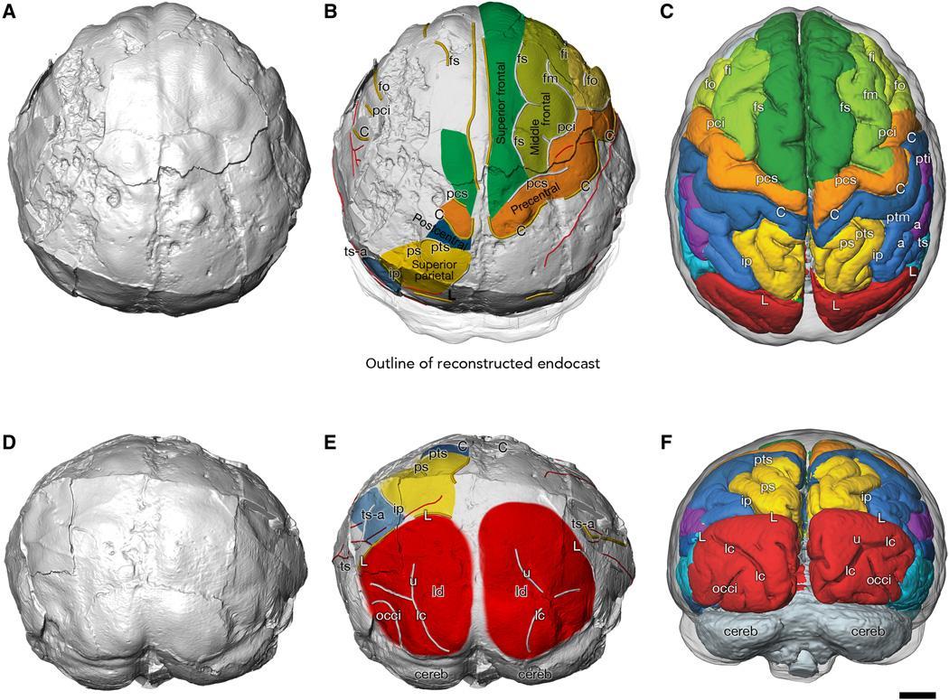 Мозг австралопитеков рос медленно