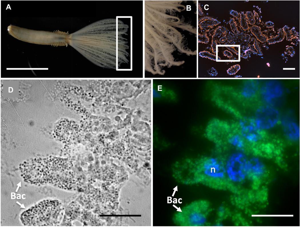 Донные черви приручили бактерии и научились питаться метаном