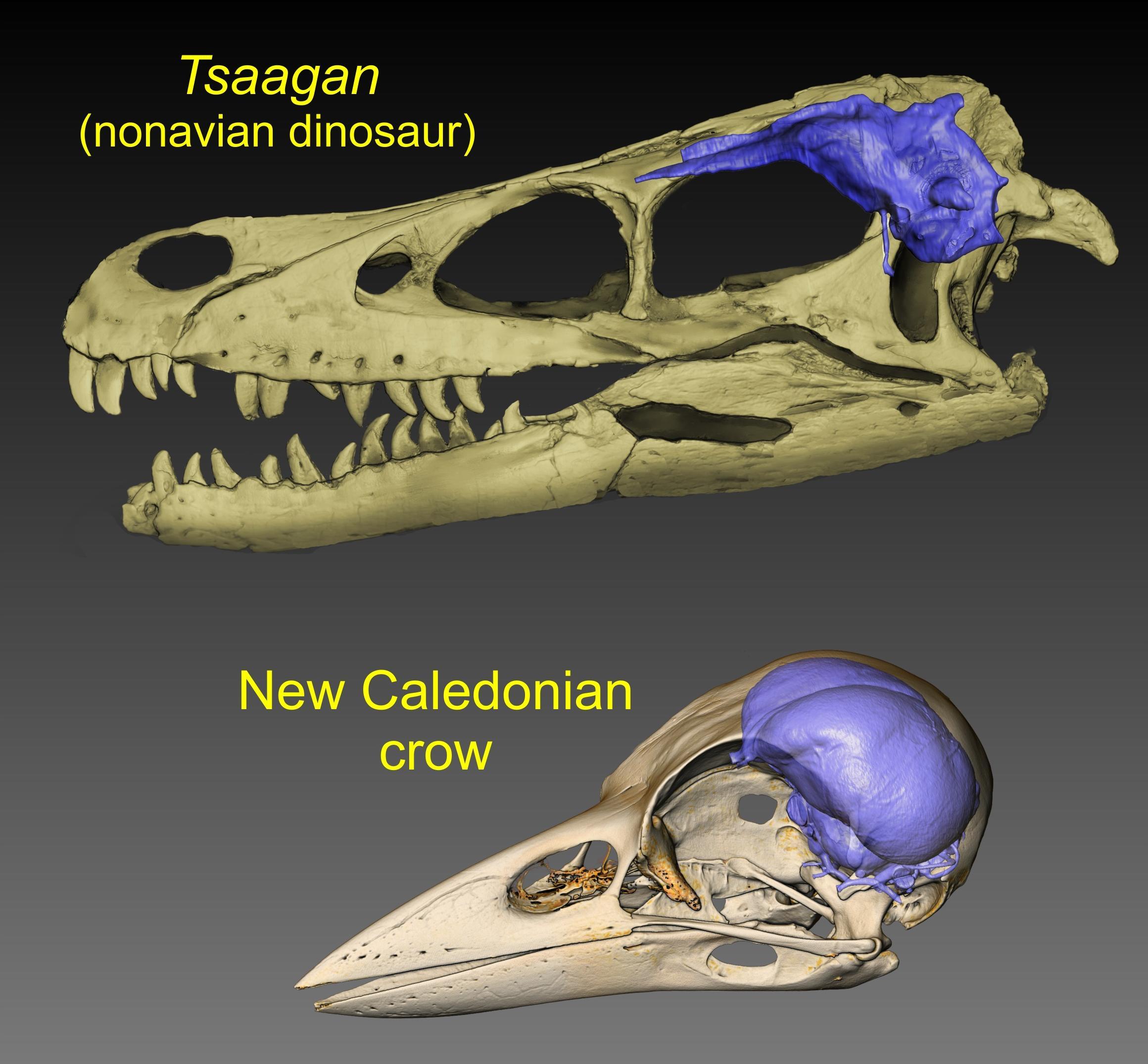 Мел-палеогеновое вымирание стало отправной точкой эволюции птичьего мозга, каким мы его знаем