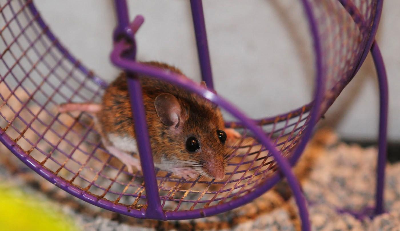 Физически активные беременные мыши запасли бурый жир себе и детям