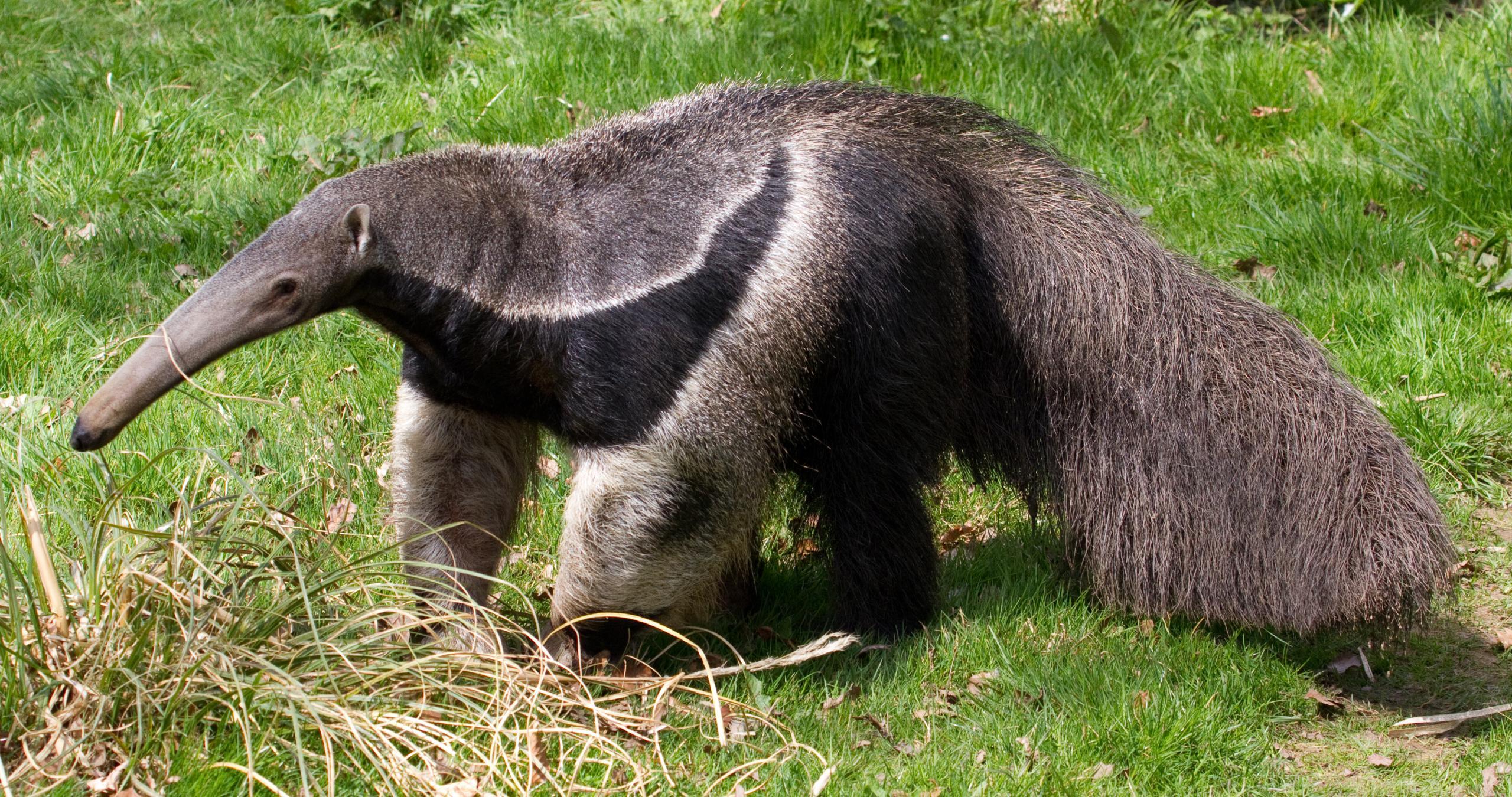 Перуанский «медведь» и настоящий хозяин леса