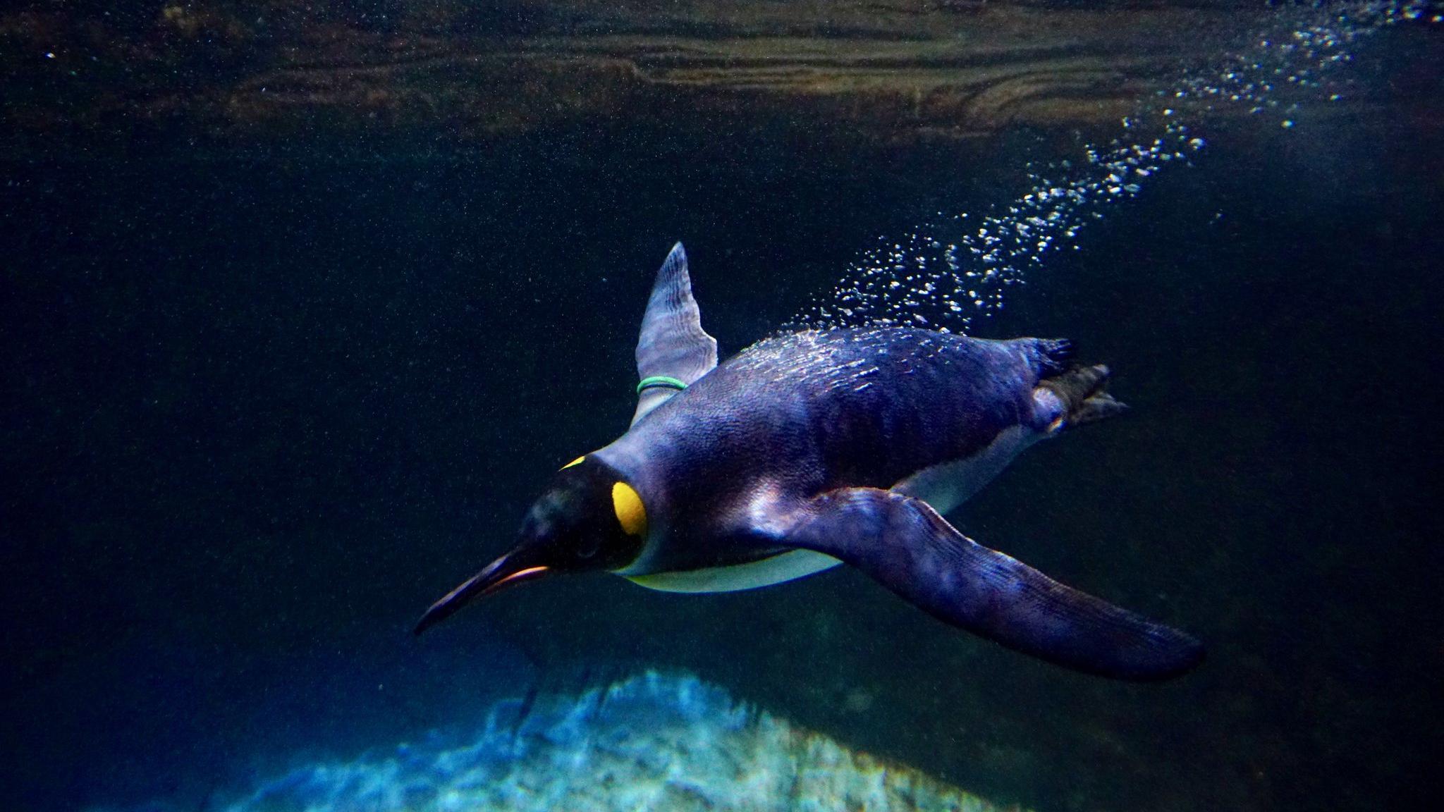 Пингвины продолжают перекрикиваться и под водой