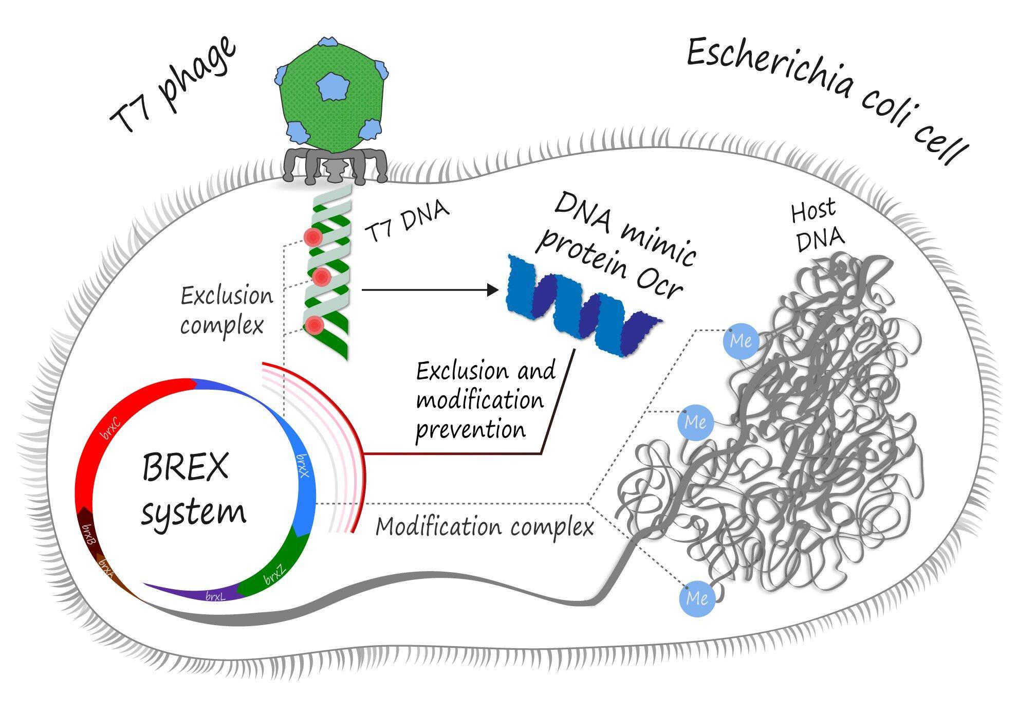 Как белок-универсал помогает бактериофагам обезоруживать свою жертву