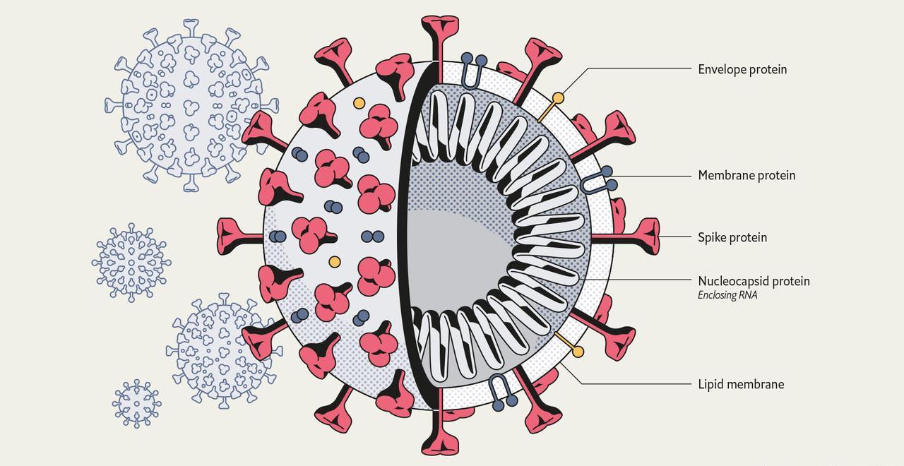 Определены клетки, которые служат мишенями для коронавируса SARS-CoV-2