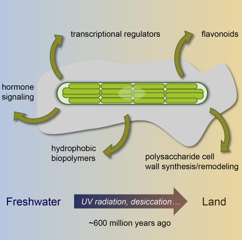 Геном водоросли может рассказать о выходе водных растений на сушу