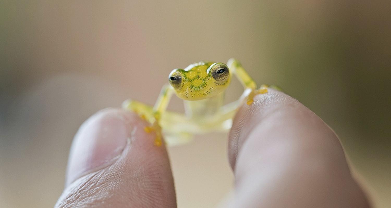 Ученые объяснили, зачем стеклянным лягушкам полупрозрачная кожа