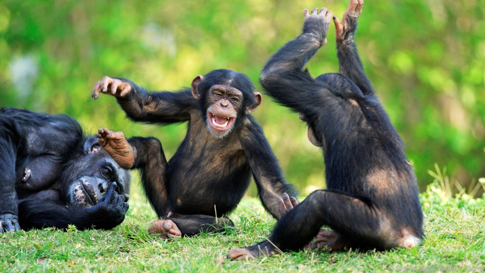 Наблюдения за шимпанзе помогли понять, как люди научились танцевать