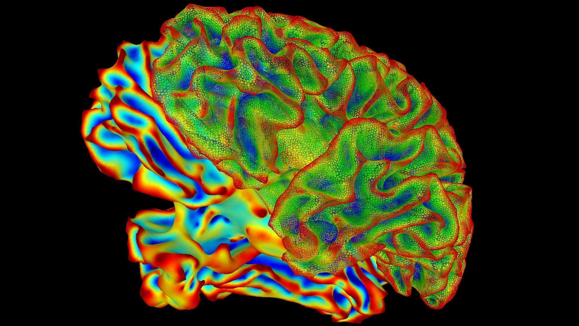 «Великолепная семерка» ключевых генов влияет на размер мозга