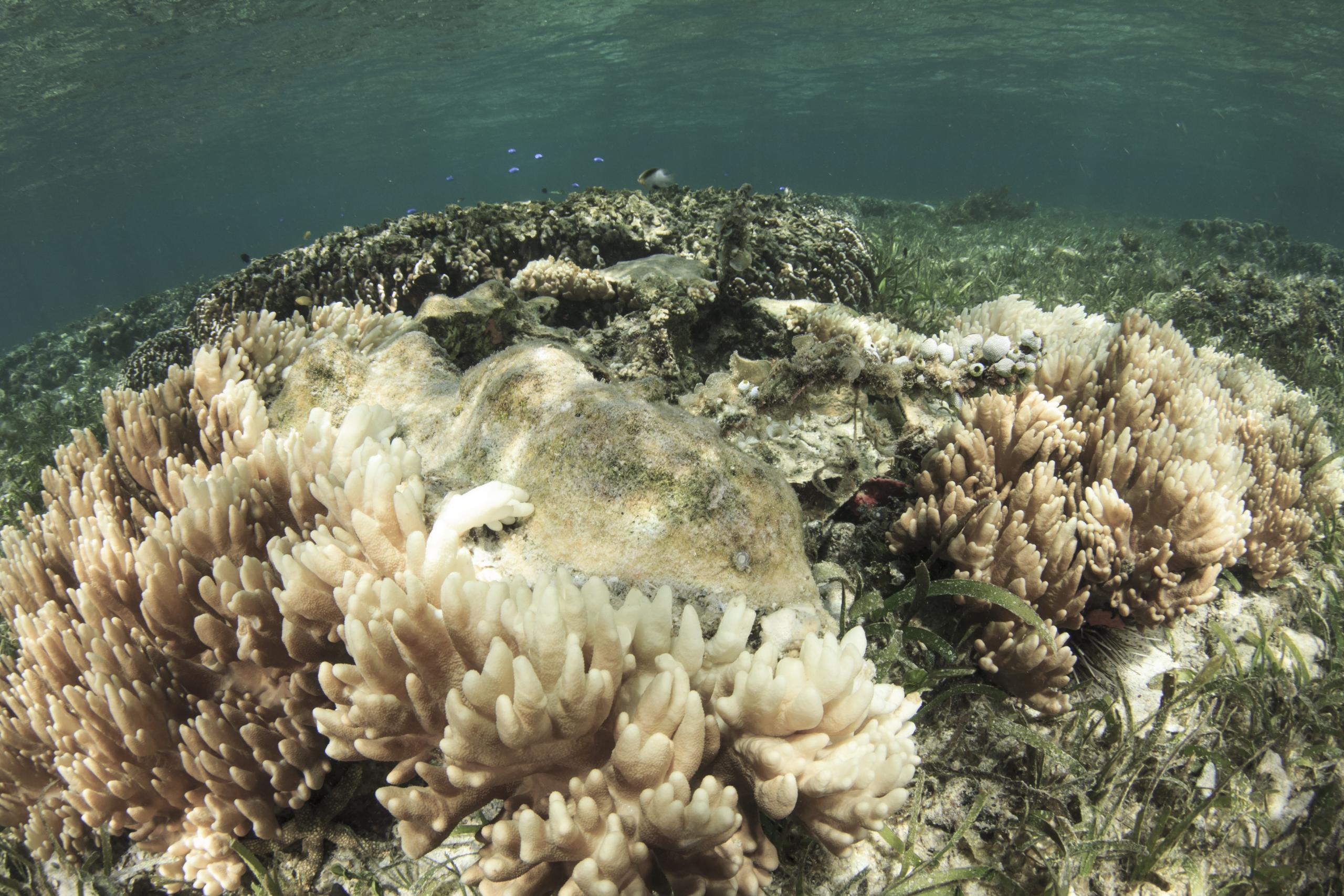 Модифицированные микроводоросли помогут защитить кораллы от массового обесцвечивания из-за изменений климата