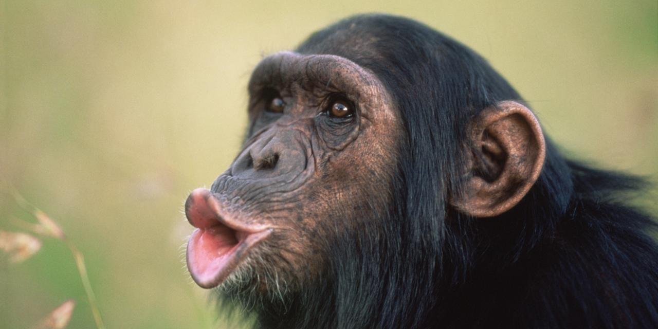 В движениях губ шимпанзе обнаружилась ритмика человеческой речи