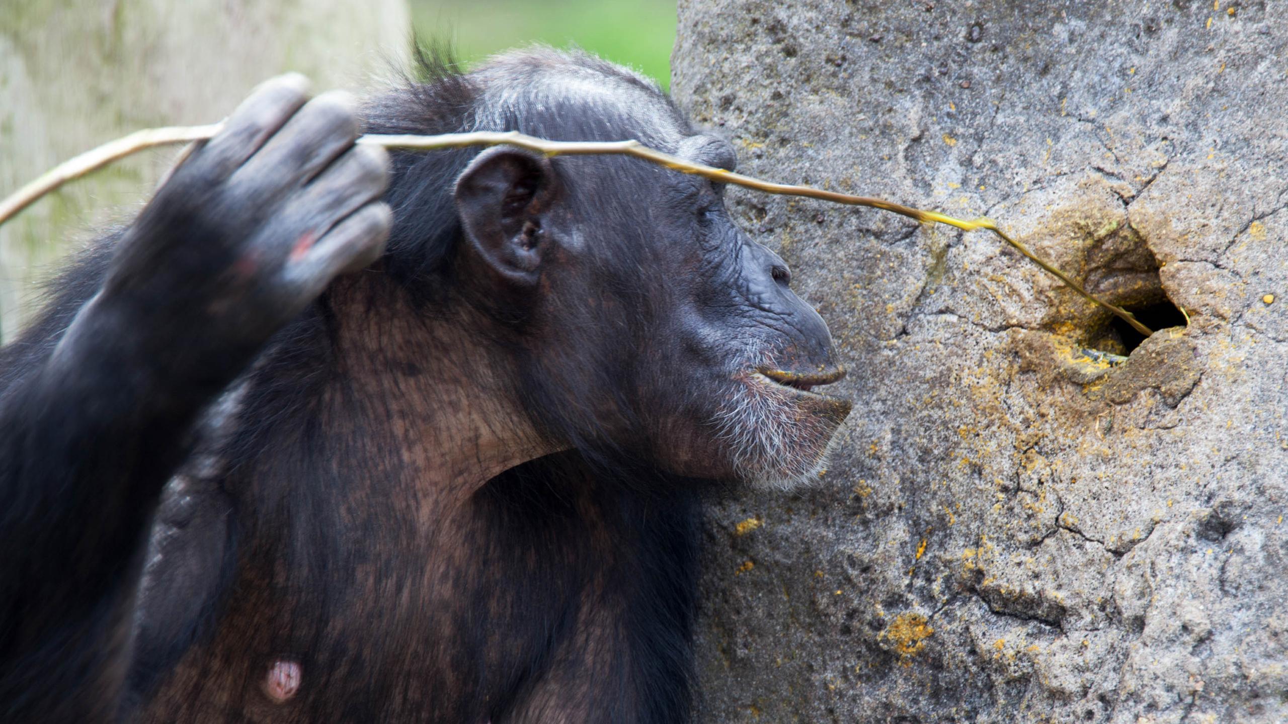 Ловля термитов показала широту культурного разнообразия шимпанзе