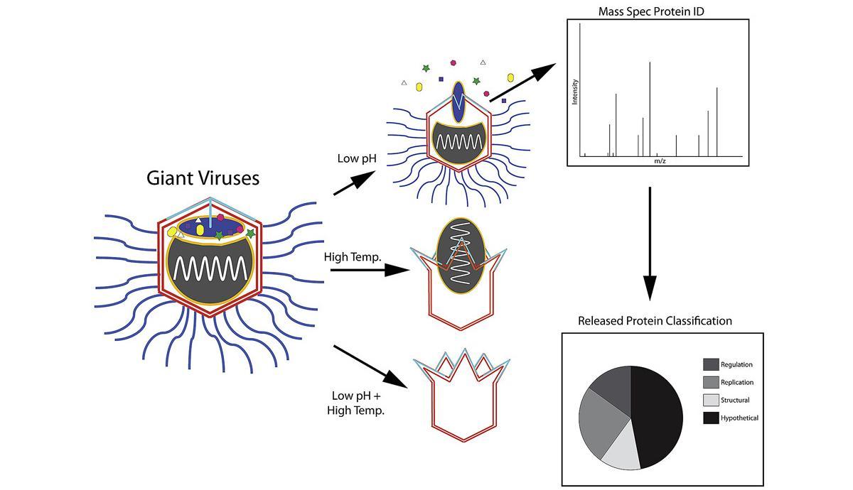 Моделирование определило биомолекулярные условия для активизации гигантских вирусов
