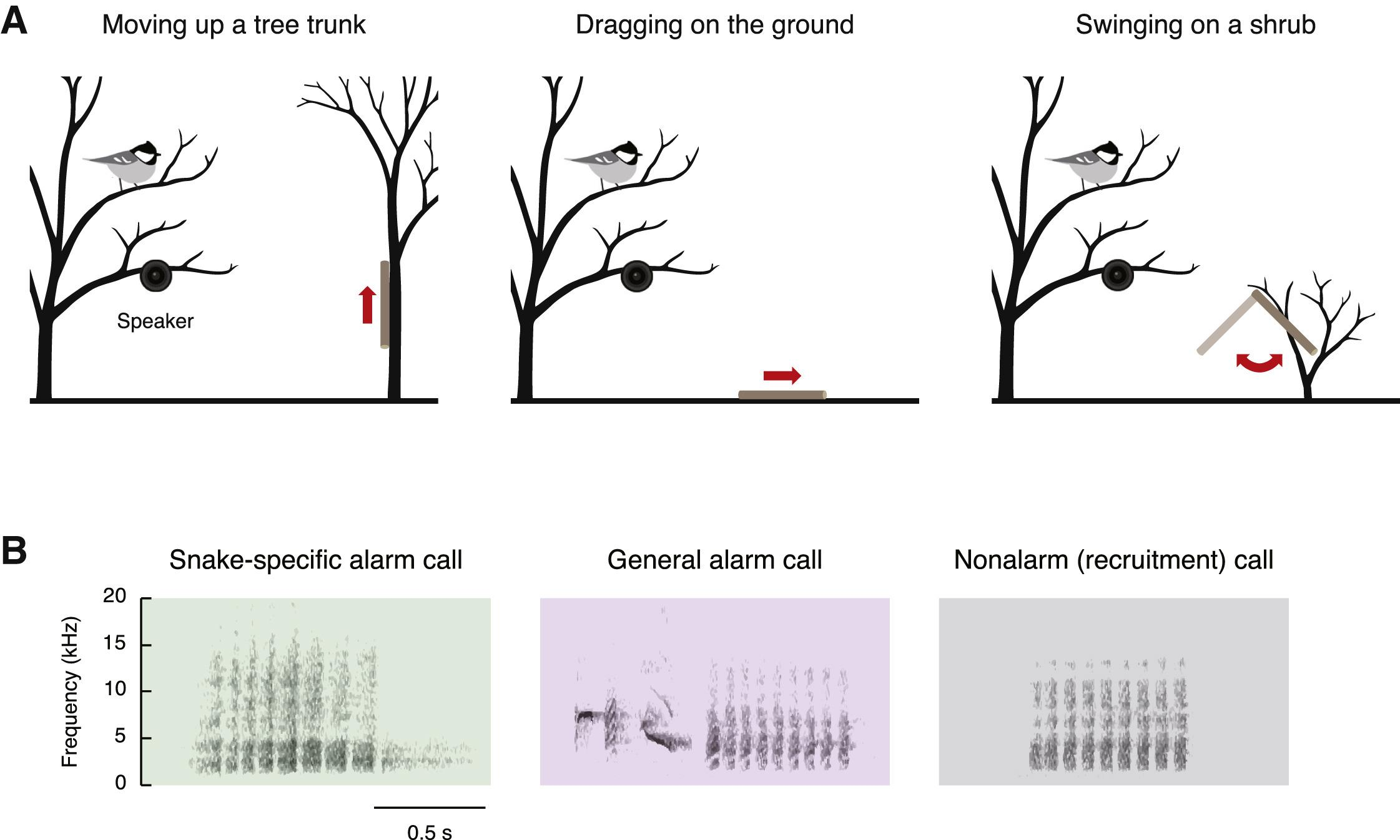 Синицы-московки распознали сигнал об опасности от птиц другого вида