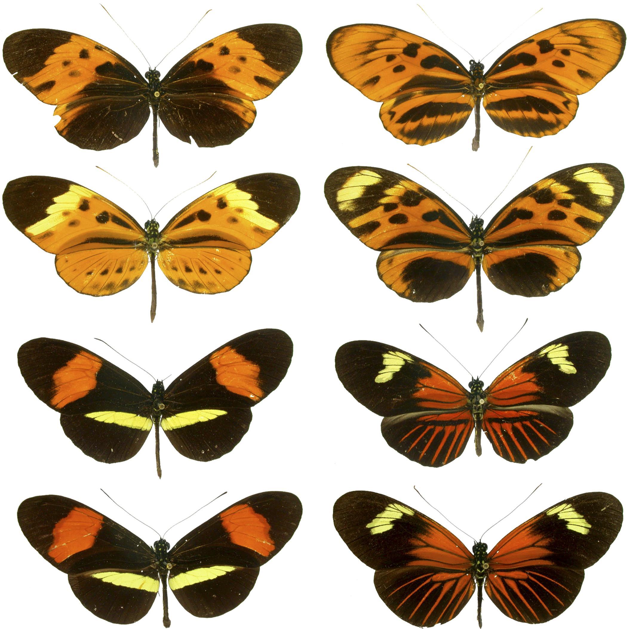 Межвидовые гибриды играют жизненно важную роль в эволюции