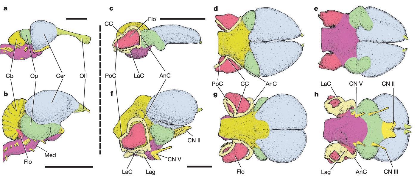 Мозг птерозавра, рожденный для полета