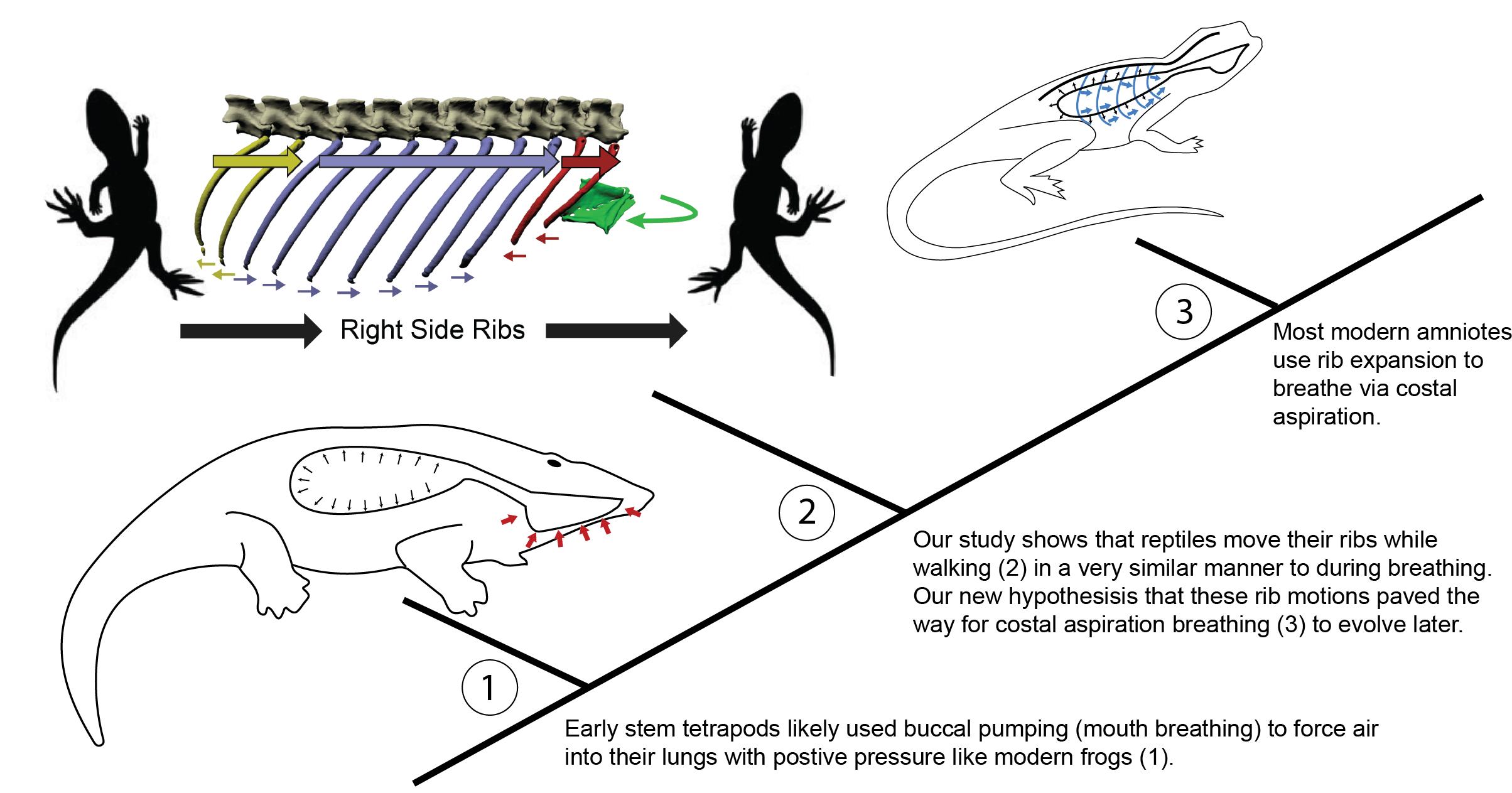 Рёбра для ходьбы