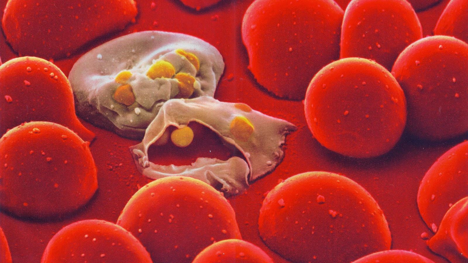 У малярийных плазмодиев нашли собственные биологические часы