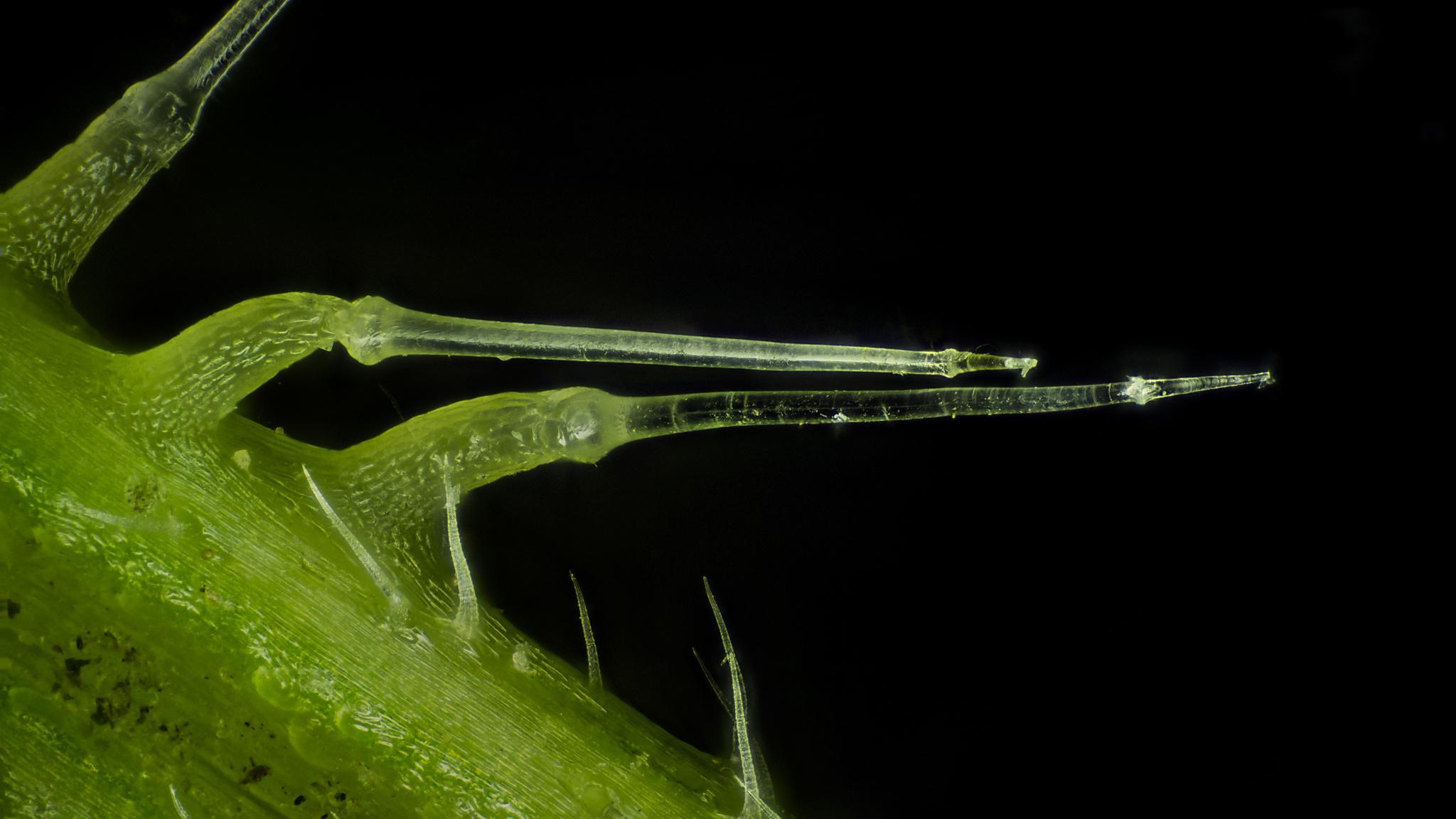 Ученые выяснили, в чем секрет прочности волосков крапивы и комариных хоботков