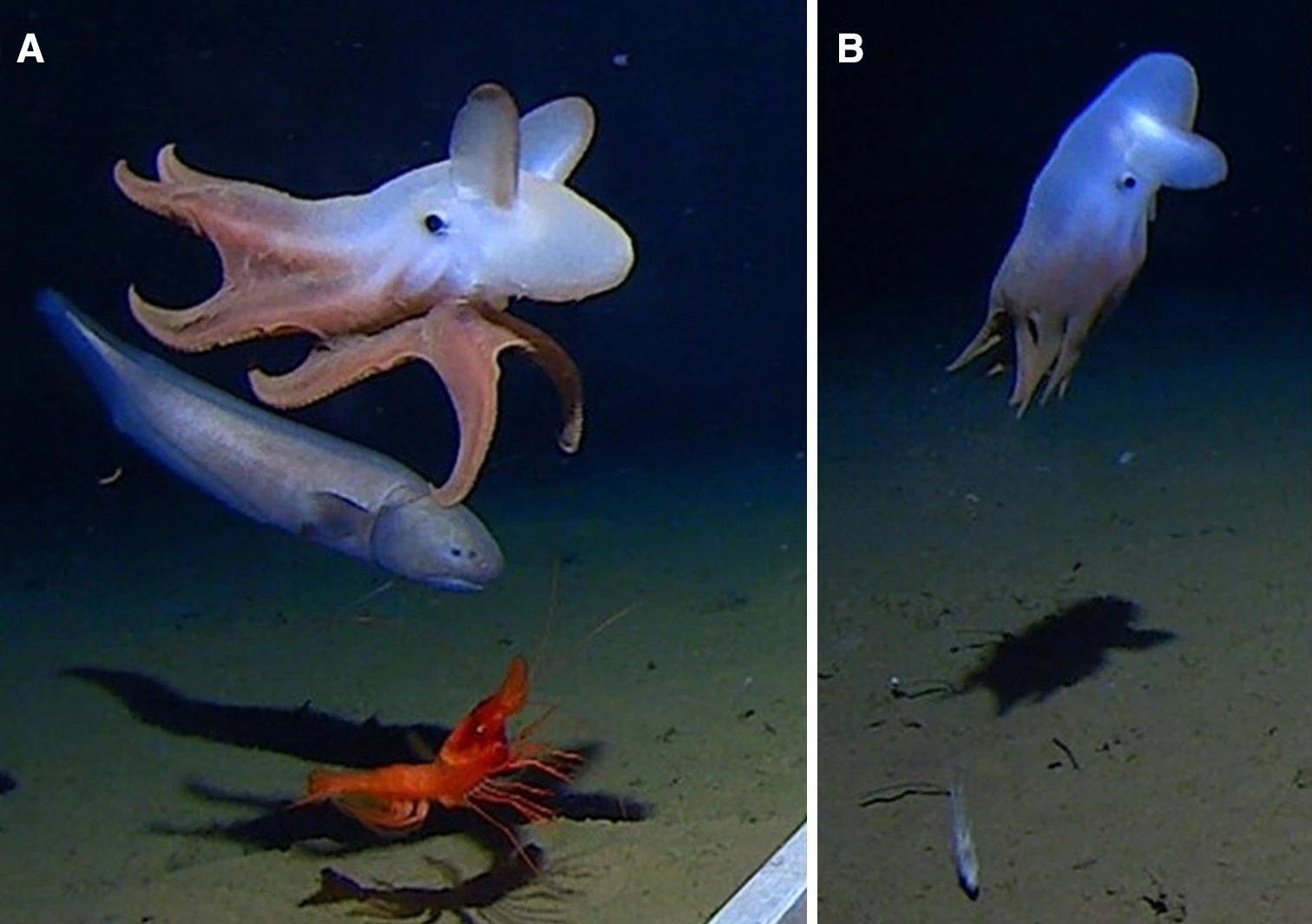 Осьминога обнаружили на рекордной глубине в почти семь тысяч метров
