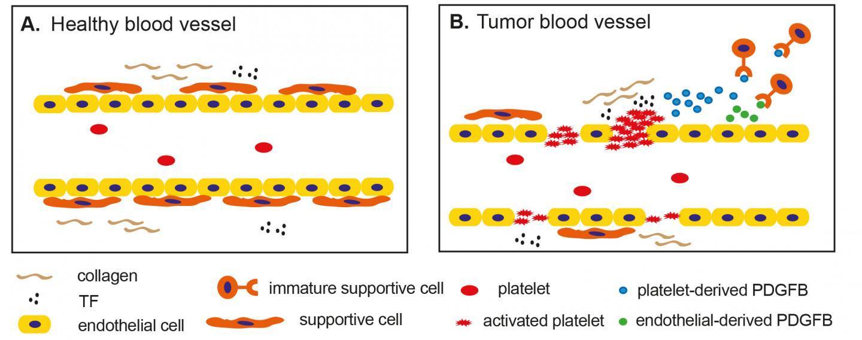 У тромбоцитов обнаружили новую функцию