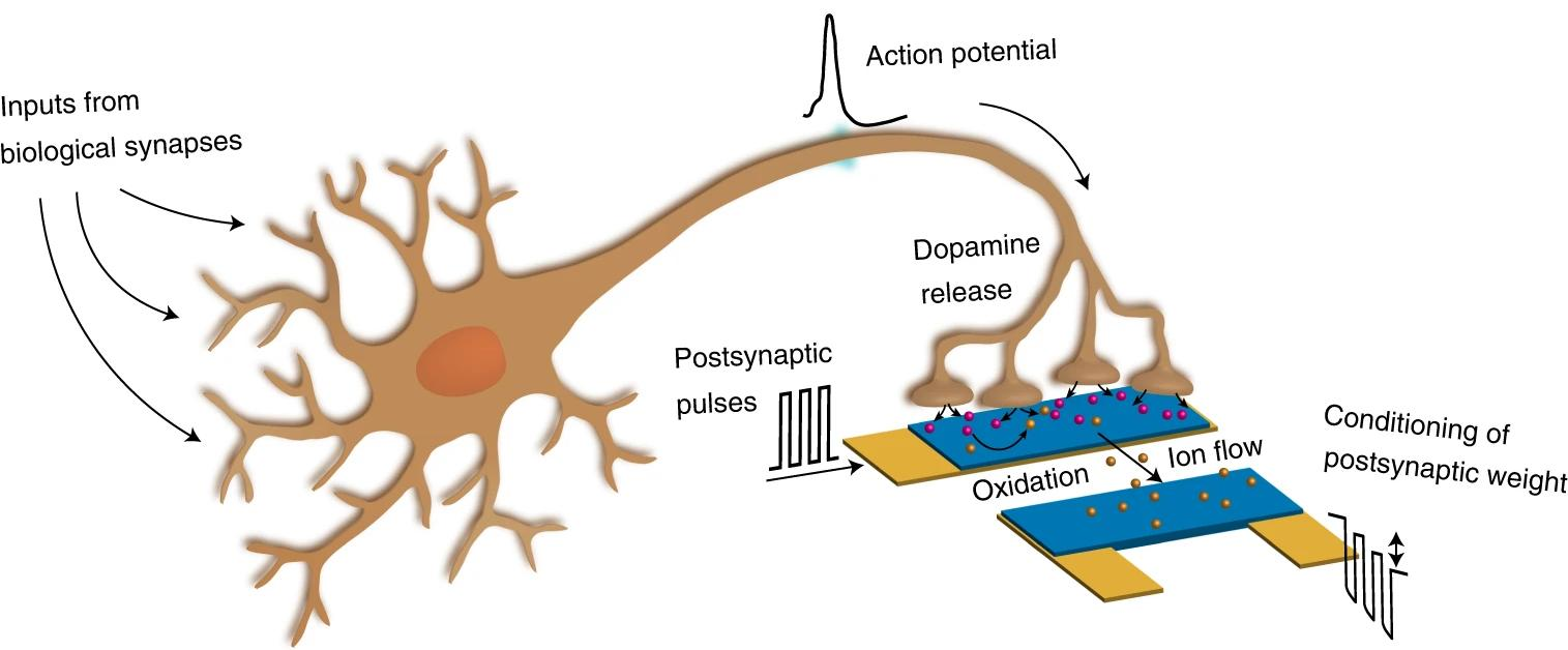 Дофамин повлиял на работу нейроморфного устройства в биогибридном синапсе
