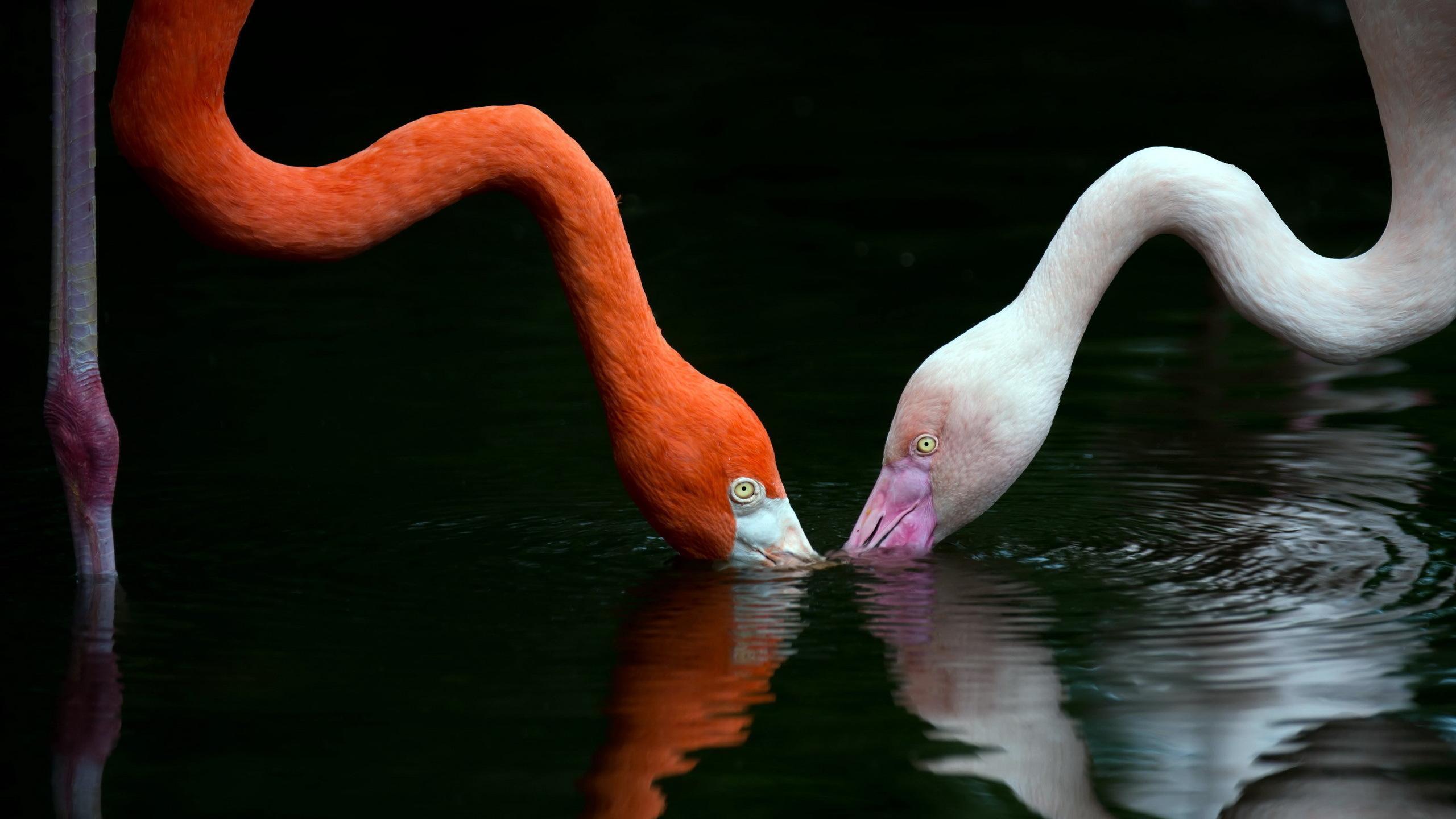 Белые фламинго оказались миролюбивее розовых