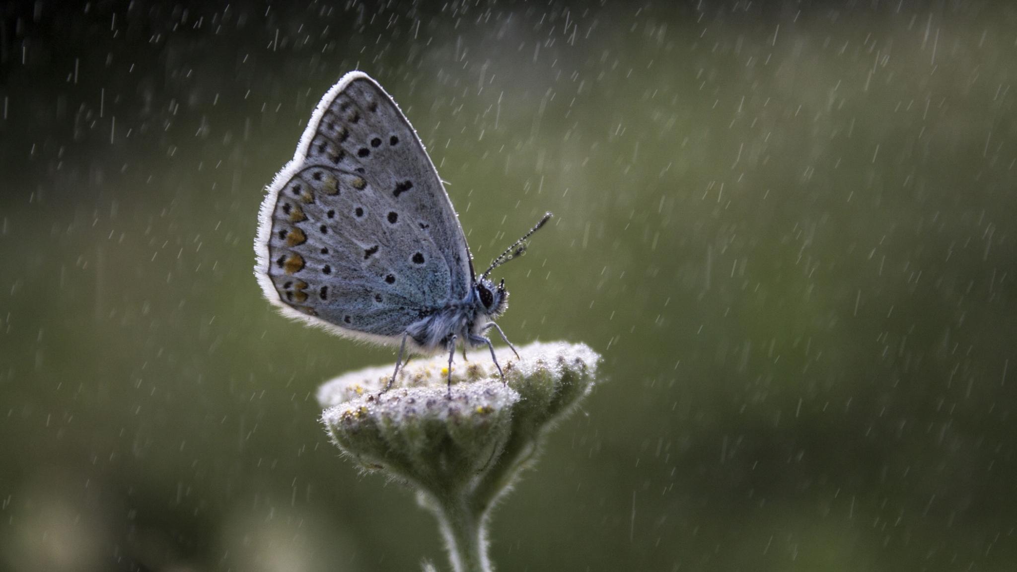 На крыльях бабочек нашли защиту от сильных ливней