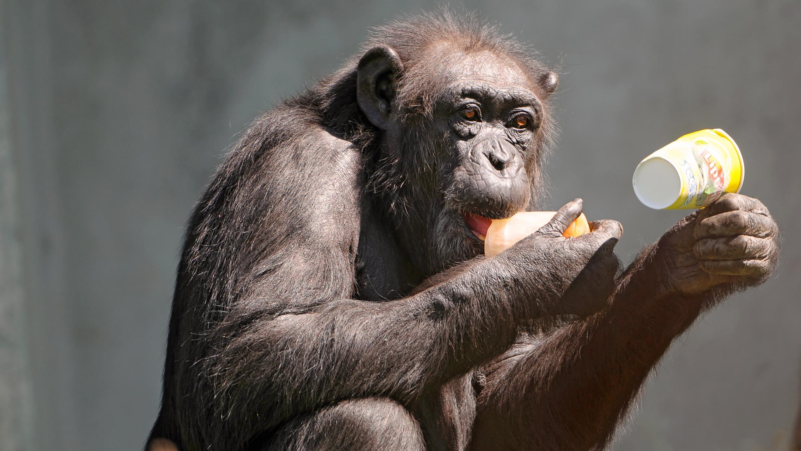 В сердце пожилых шимпанзе обнаружили кость