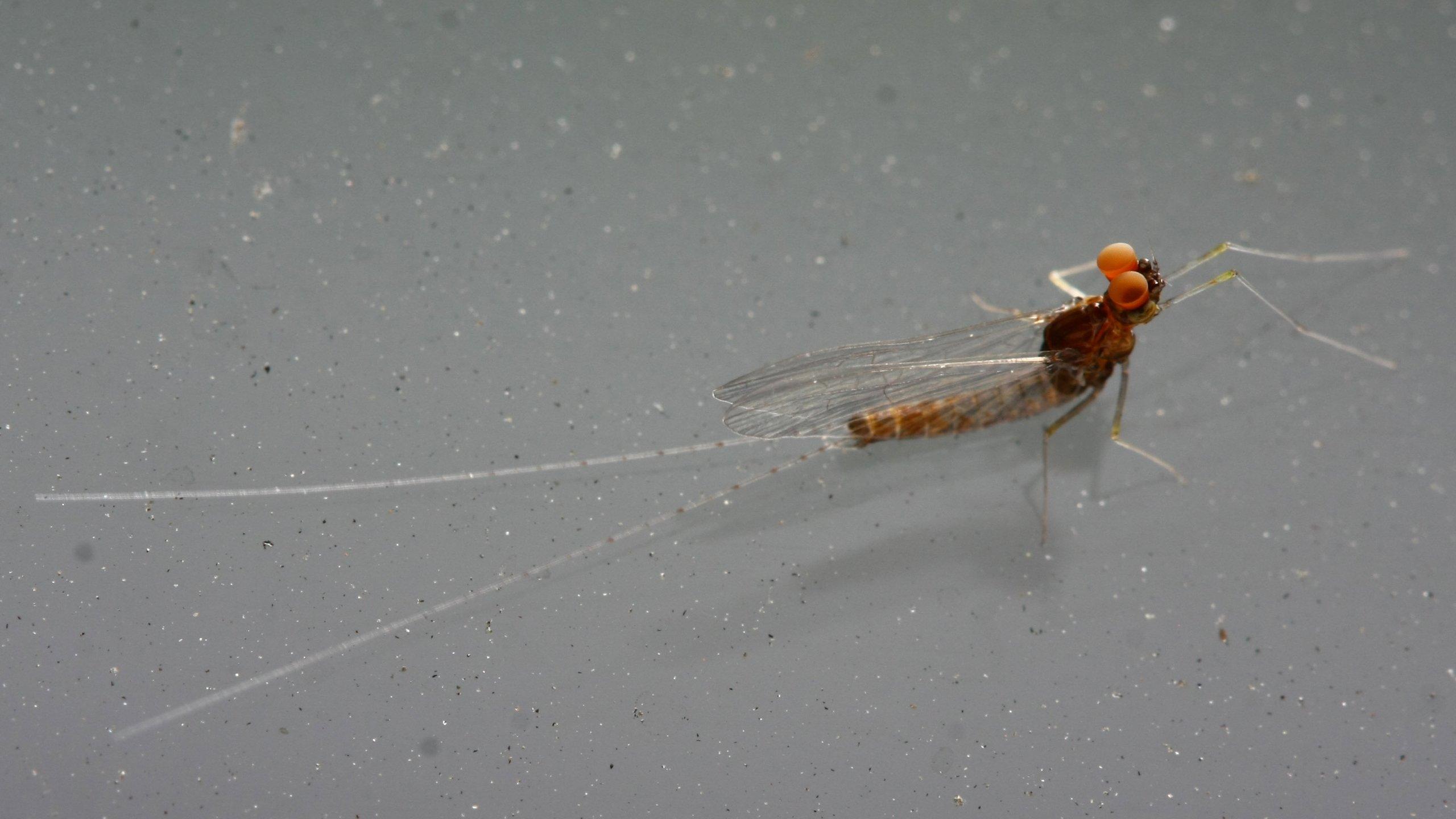 Крылья насекомых могли развиться из ножек