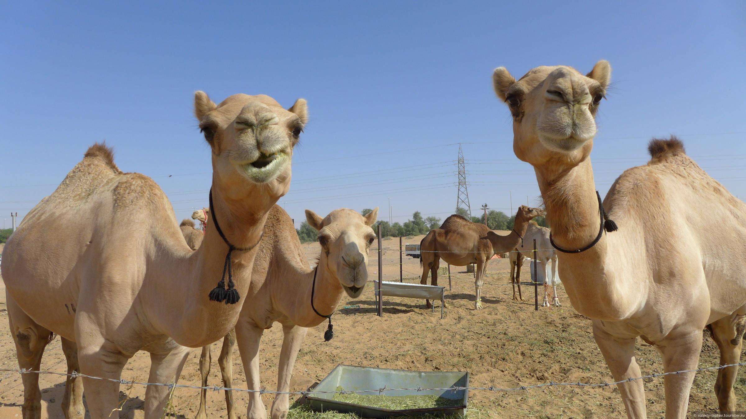 Ученые обнаружили место одомашнивания одногорбых верблюдов