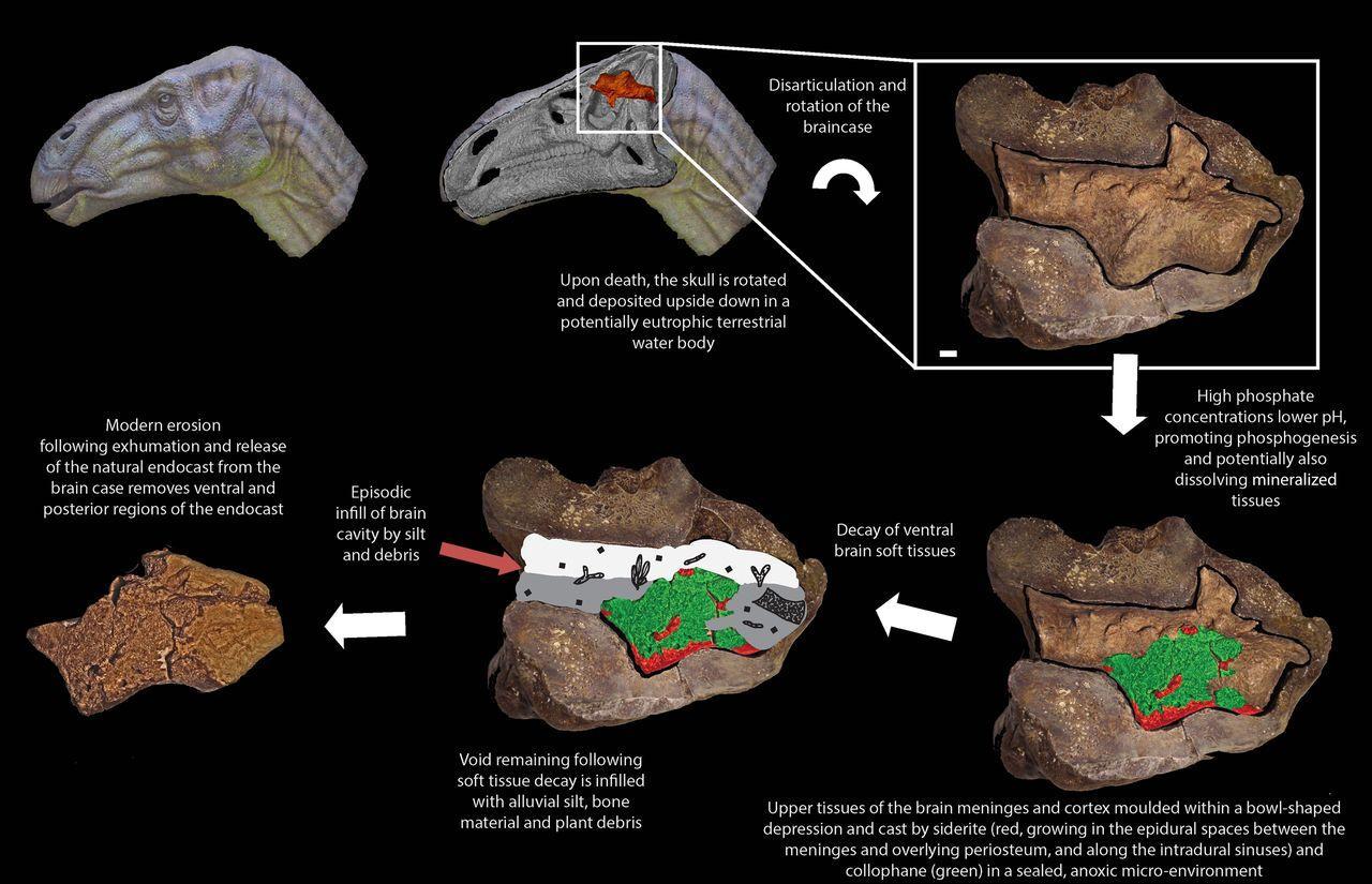 Не булыжник, а мозг динозавра