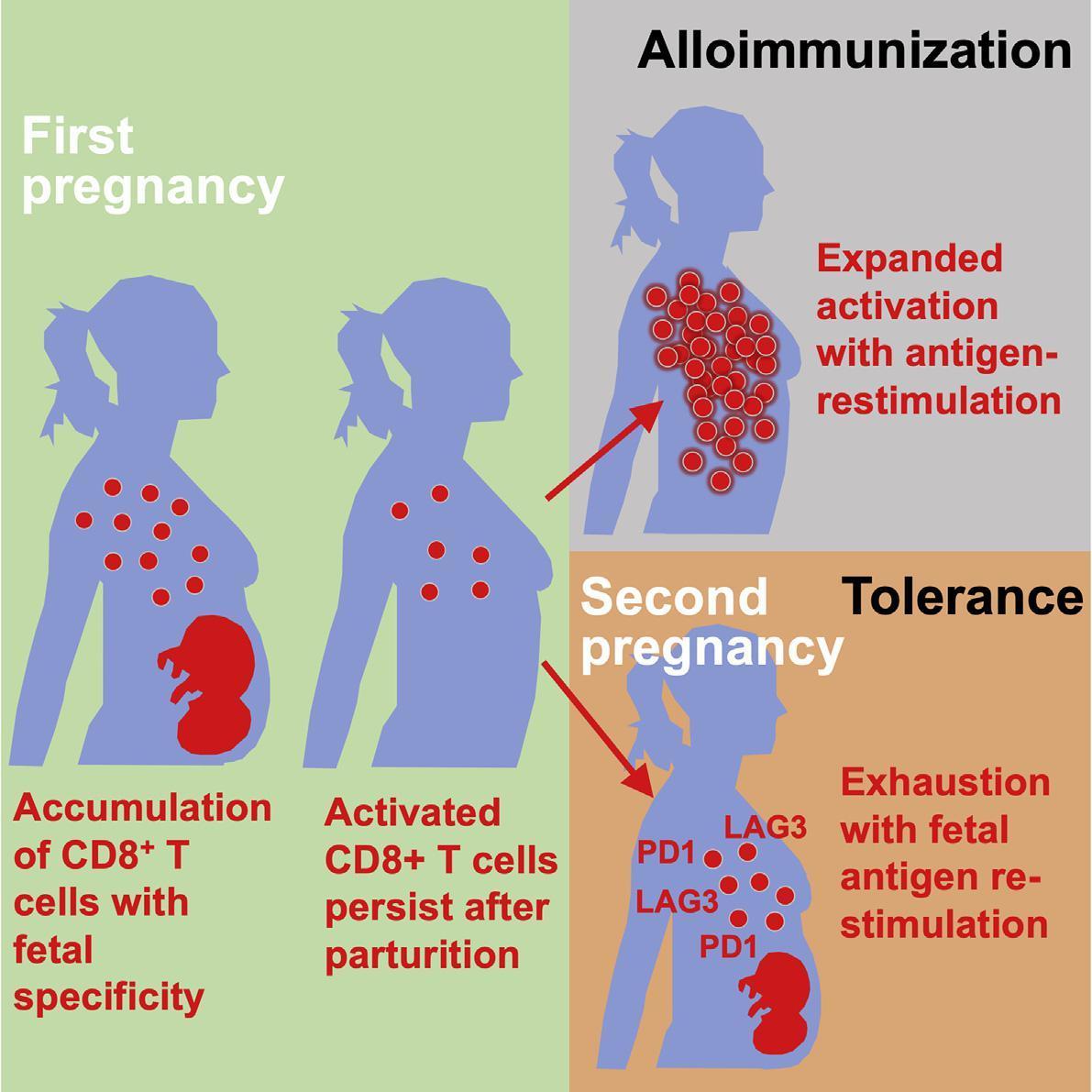 Ученые рассказали о разнице в работе иммунной системы при первой и последующих беременностях