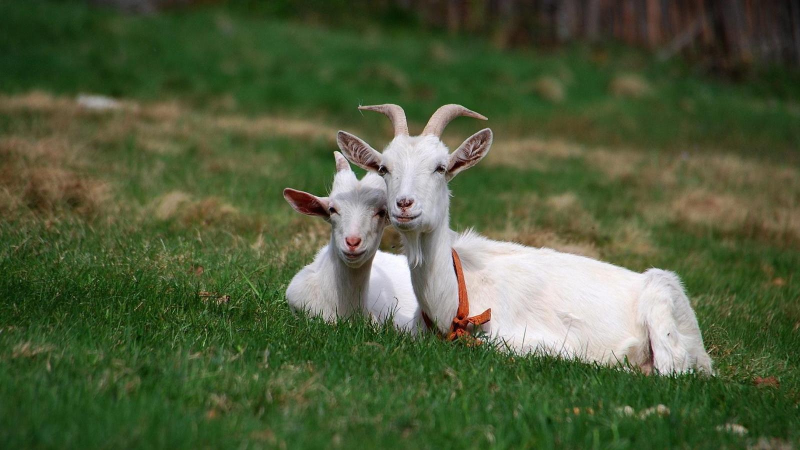 Ученые создали генномодифицированных коз, чье молоко содержит лекарство от рака